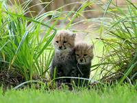 Cheetah Cubs Exploring, UK