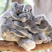 Koala Bears Hugging