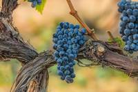Wine grapes on an old vine