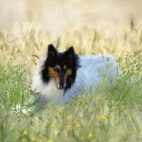 WHITE COLLIE Art Prints & Posters by SUSAN LIPSCHUTZ
