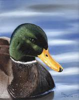Swimming Greenhead