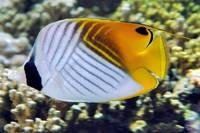 Threadfin Butterflyfish, Spoted Version