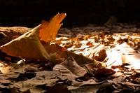 Falling Dried Leaves