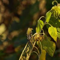 Finch feeding on Sunflower seeds P9252314 by Richard Thomas