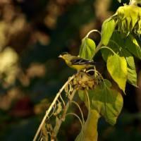 Finch feeding on Sunflower seeds P9252316 by Richard Thomas