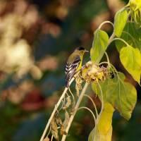 Finch feeding on Sunflower seeds P9252318 by Richard Thomas