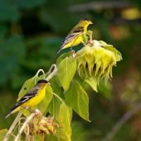 Finches Feeding by Richard Thomas