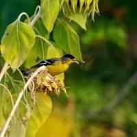 Finch feeding on Sunflower seeds P9252321 by Richard Thomas
