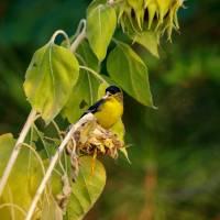 Finch feeding on Sunflower seeds P9252322 by Richard Thomas