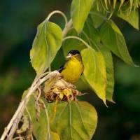 Finch feeding on Sunflower seeds by Richard Thomas