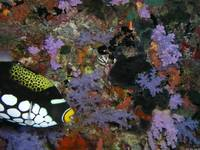 Clown_Triggerfish_1_Fiji_8-19-05