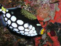Clown_Triggerfish_Fiji_8-19-05