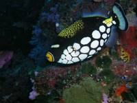 Clown_triggerfish_3_Fiji_8-11-05
