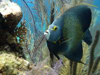 French Angelfish with Eaten Sponge Cat Island 5-27
