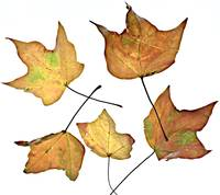 Wyatt's Leaves