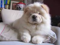 White Cream Puff Chow Chow Puppy
