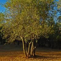 Sunrise and Oak Tree - PA022343 by Richard Thomas