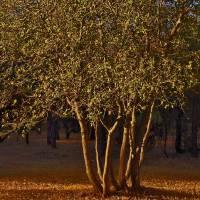 Oak Tree and Sunrise - PA022348 by Richard Thomas
