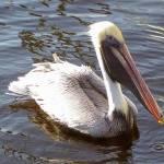 """""""Pelican"""" by kellygreene2005"""