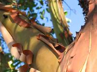 madrone detail