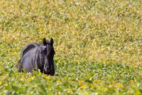 Horse in Soybeans