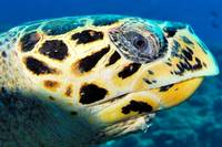 TheVeryLiveEyeOfTheHawksbillTurtle12-DEC-2006mm281