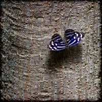 Banded Purplewing Butterfly on Tree Square