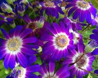 Cineraria's flowers - Purple and white