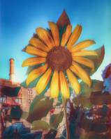 Sunflower in the Ciry - Urban Beauty