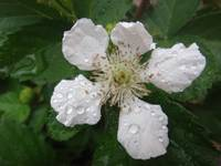 Blackberry flower - White