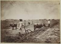 Four farmers plowing with oxen, presumably in the