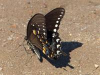 Swallowtail on Concrete