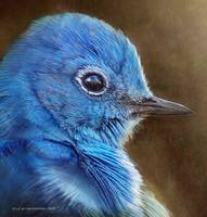 mountain bluebird face