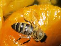 Sweet Tangerine Honeybee
