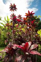 Red Ti Tropical Gardens Hawaiian ti plant Wailua M