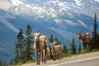 Wild Goat Crossing