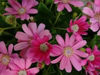 Daisy flowers - Pink