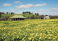 Abandoned Homestead in Field of Daisies (Australia
