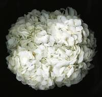 Hydrangea- Black and white photography
