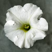 White petunia- black and white photography