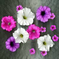 Petunias Original Photograph