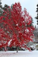 Winter's Blazing Red Maple