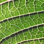 """""""a green leaf"""" by xamad"""
