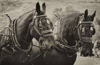 PERCHERON BLACK BEAUTIES