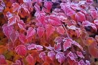 Frosty Red Leaves
