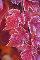 Red Orange Frosted Leaves of Physocarpus