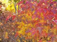 Autumn reds and golds - 1