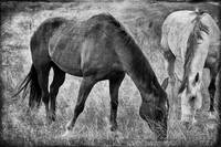 Equine Friends Black And White