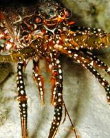 Spotted Spiny LobstersEyes8-AP-2004f11