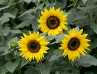 Tres Sunflowers
